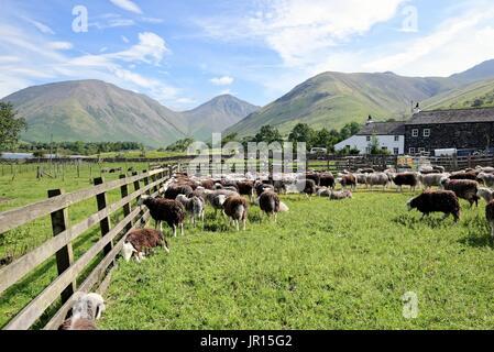 Sheep Farm Wasdale Lake District National Park Cumbria UK - Stockfoto