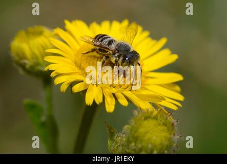 Spined Mauerbiene (Osmia Spinulosa) auf Flower Meadow falsche Berufkraut (Pulicaria Dysenterica), regionale Naturpark - Stockfoto