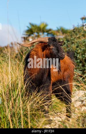 Mallorquinische Wildziege (Capra Aegagrus), Serra de Tramuntana, Mallorca, Spanien - Stockfoto