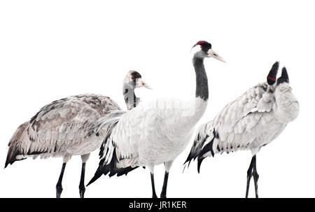 Kraniche (Grus Grus). Porträt von drei Krane, die auf der Suche nach Nahrung in den Schnee. - Stockfoto