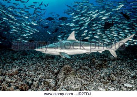 Schwarzspitzen Hai (Carcharhinus Limbatus) schwimmen in der Mitte eine Schule Jack Makrelen (Trachurus sp), Französisch - Stockfoto