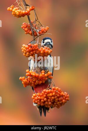 Buntspecht auf ein Rowan im Winter - GB - Stockfoto