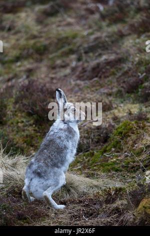 Schneehase sitzend unter Heidekraut im Frühling - Schottland - Stockfoto