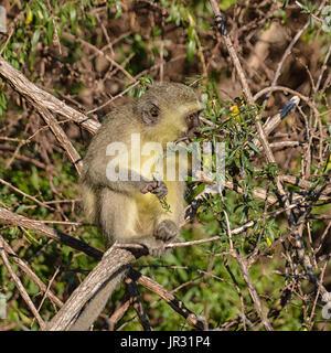 Ein Vervet Affe sitzt in einem Baum essen verlässt im südlichen Afrika - Stockfoto