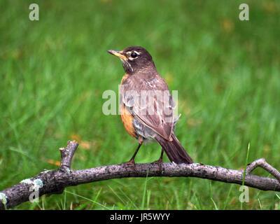 Robin steht auf gewölbten Niederlassung vor Ort in der Wiese - Stockfoto