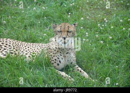 Ein Gepard zur Festlegung und spielen im Gras. - Stockfoto