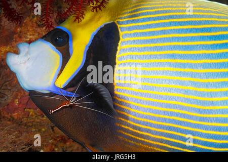 Kaiser Angelfish, Pomacanthus Imperator, seine Kiemen gereinigt. weiß gebändert Putzergarnelen, Lysmata amboinensis. - Stockfoto
