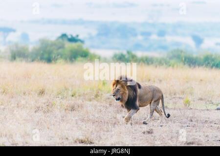 Männliche Löwe - Masai Mara, Kenia - Stockfoto