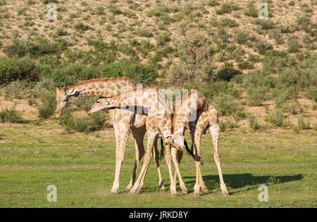 Drei südlichen Giraffen (Giraffa giraffa), kämpfende Männer, Regenzeit mit grüner Umgebung, Kalahari Wüste - Stockfoto