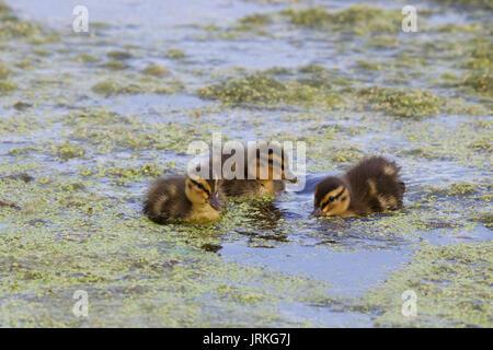 Drei kleine Stockente Entenküken Fütterung auf einem Teich - Stockfoto