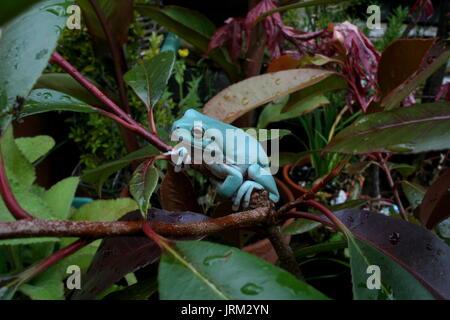 Die Blaue Phase weiß Treefrog, Litoria caerulea, australischen Green Tree Frog, Captive sub-männlichen Erwachsenen - Stockfoto