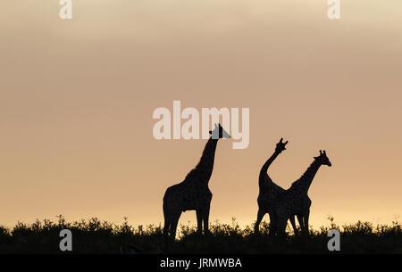 Südliche Giraffen (Giraffa giraffa), drei Männer im Morgengrauen, zwei von ihnen kämpfen, Kalahari Wüste - Stockfoto