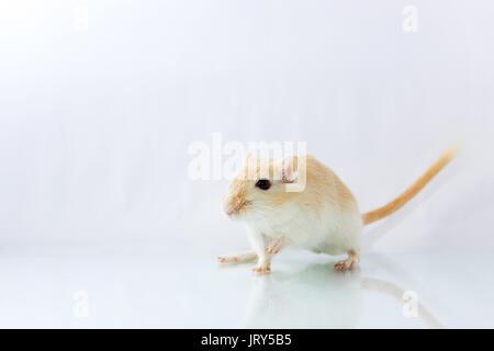 Flauschige kleine Nager rennmaus auf weißem Hintergrund - Stockfoto