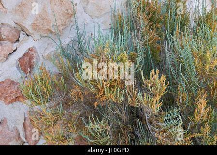 Salicornia - Stockfoto