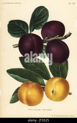 Englische Pflaumen Sorten, Prince Of Wales und Rivers frühen Transparent Gage, Prunus Domestica. Gezeichnet und - Stockfoto