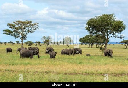 Eine Herde Elefanten Beweidung in den Steppen der Serengeti