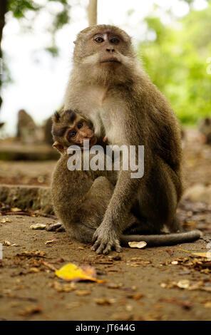 rhesus makaken affen und baby essen eine banane am strand von monkey monkey bay von phuket. Black Bedroom Furniture Sets. Home Design Ideas