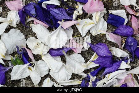 Wetter-Delphinium Konfetti aus dem Konfetti-Feld im Docht Hochzeit, sind Worcestershire where18 Hektar Rittersporn - Stockfoto
