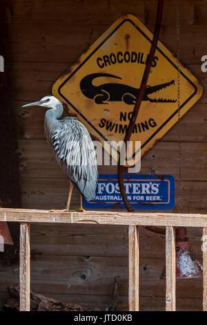 White-faced Heron/white-fronted Heron (Egretta novaehollandiae) auf der Veranda des Hauses gelegen, beheimatet in - Stockfoto