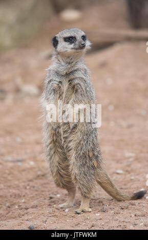 Erdmännchen (Suricata suricatta), die in der Gefangenschaft, Vereinigtes Königreich - Stockfoto