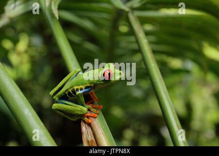 Red Eyed Tree Frog oder gaudy Blatt Frosch oder agalychnis callidryas eine kletternde hylid in tropischen Regenwäldern - Stockfoto
