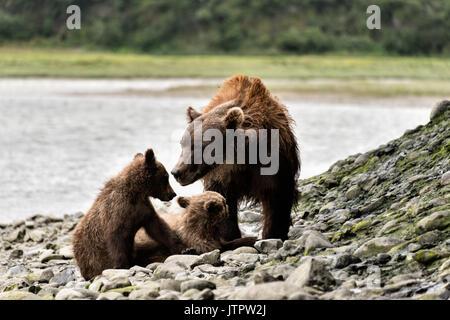 Ein Braunbär sow als bärtige Lady spielt mit ihrer Feder cubs am McNeil River State Game Sanctuary auf der Kenai - Stockfoto