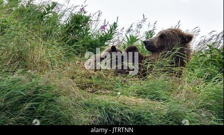Ein Braunbär sow wie Simba Krankenschwestern ihre Feder Jungen auf einer Klippe an der McNeil River State Game Sanctuary - Stockfoto