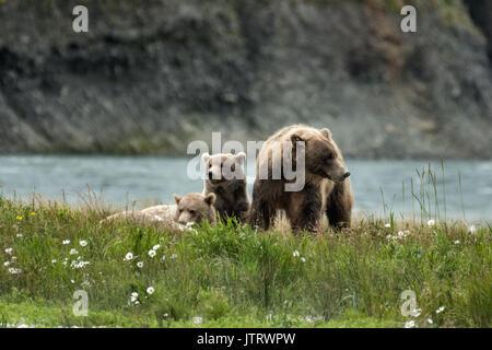 Ein Braunbär säen und ihr Nachwuchs cubs Rest in einem Feld der arktischen Gänseblümchen am McNeil River State Game - Stockfoto