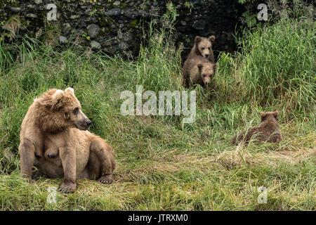 Ein Braunbär sow wie Simba bekannt wachen die Höhle, wo Ihre Feder cubs am McNeil River State Game Sanctuary auf - Stockfoto