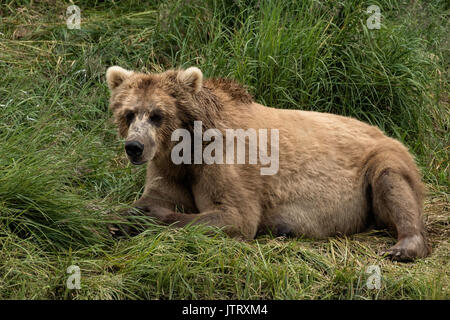 Ein Braunbär sow wie Simba bekannt im Gras am McNeil River State Game Sanctuary auf der Kenai Halbinsel, Alaska - Stockfoto