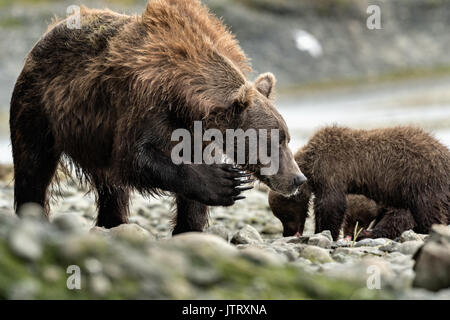 Ein Braunbär sow als bärtige Lady bekannt Kratzer ihr Gesicht wie ihre Jungen auf Lachs am McNeil River State Game - Stockfoto