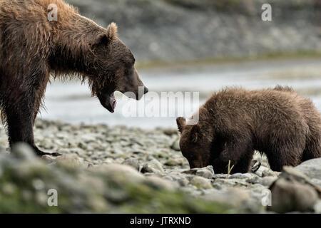 Ein Braunbär sow als bärtige Lady bekannt schmollt eine Warnung Lärm zu ihren Jungen Fütterung auf Lachs am McNeil - Stockfoto