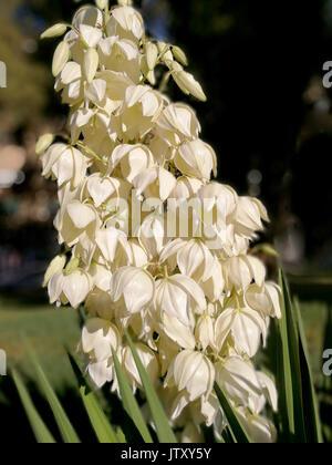 Yucca Filamentosa weiße Blüte Stockfoto, Bild: 67117644 - Alamy