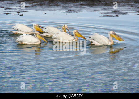 Flottille der weißen Pelikane beim Fischen im Teich, Ol Pejeta Conservancy, Kenia - Stockfoto