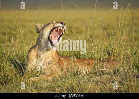 Löwin gähnen, Masai Mara, Kenia Stockfoto