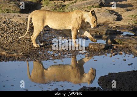 Löwin am pool Trinken von Wasser in der felsigen Gegend, Masai Mara, Kenia