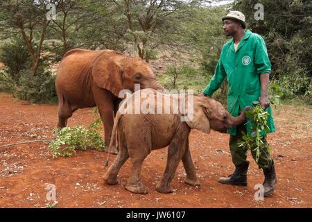 Hausmeister füttern Blätter zu verwaisten Baby Elefant, Sheldrick Wildlife Trust, Nairobi, Kenia - Stockfoto