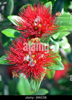 Pohutukawa Baum leuchtend roten Blüten Stockfoto, Bild ...