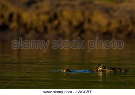 Ein brillenbär, Caiman crocodilus Caiman, hebt seine Augen über der Oberfläche des Wassers. - Stockfoto