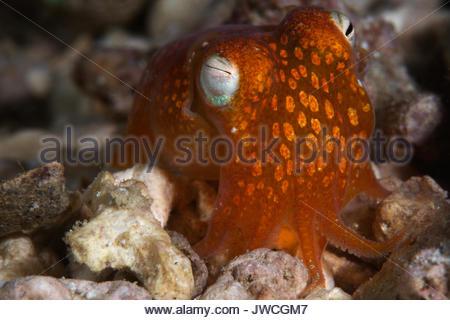 Nahaufnahme eines Bobtail squid. - Stockfoto