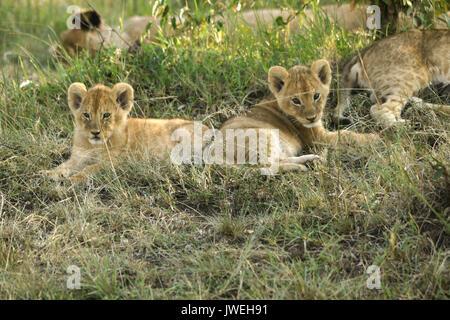 Winzige Lion Cubs wach, während der Rest der Stolz schläft im Schatten, Masai Mara, Kenia - Stockfoto