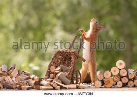 Eichhörnchen mit Schubkarre mit Brennholz geladen suchen - Stockfoto