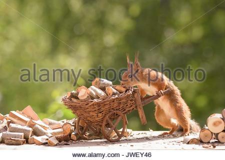 Eichhörnchen mit Schubkarre mit Brennholz geladen - Stockfoto