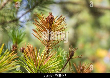 Lodgepole Pine mit männlichen Pollen Blumen. Anzeichen der Pilzkrankheit Rhamachloridium, durch braune Nadeln an - Stockfoto