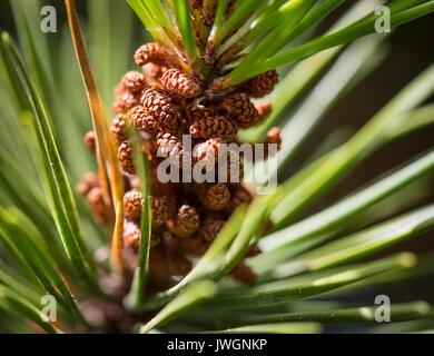 Lodgepole Pine close-up, zeigen männliche Pollen Blumen. - Stockfoto