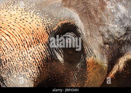Die Augen des Elefanten sind klein im Vergleich zu der enormen Größe des Tieres. - Stockfoto