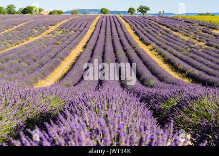 Lavendel Felder im Sommer in Valensole. Alpes de Haute Provence, Region PACA, Südliche französische Alpen, Frankreich - Stockfoto
