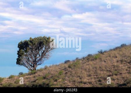 Einsamer Baum auf Hügel in der hohen Wüste gegen einen bewölkten Himmel in zentralen Oregon - Stockfoto