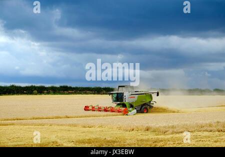 Feldhäcksler Weizen ernten kombinieren, North Norfolk, England - Stockfoto