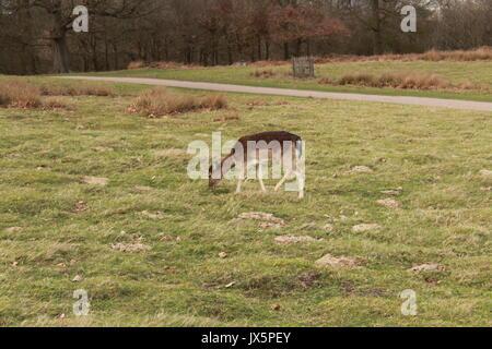 Ein damwild Weiden auf einer Wiese im Knole Park - Stockfoto